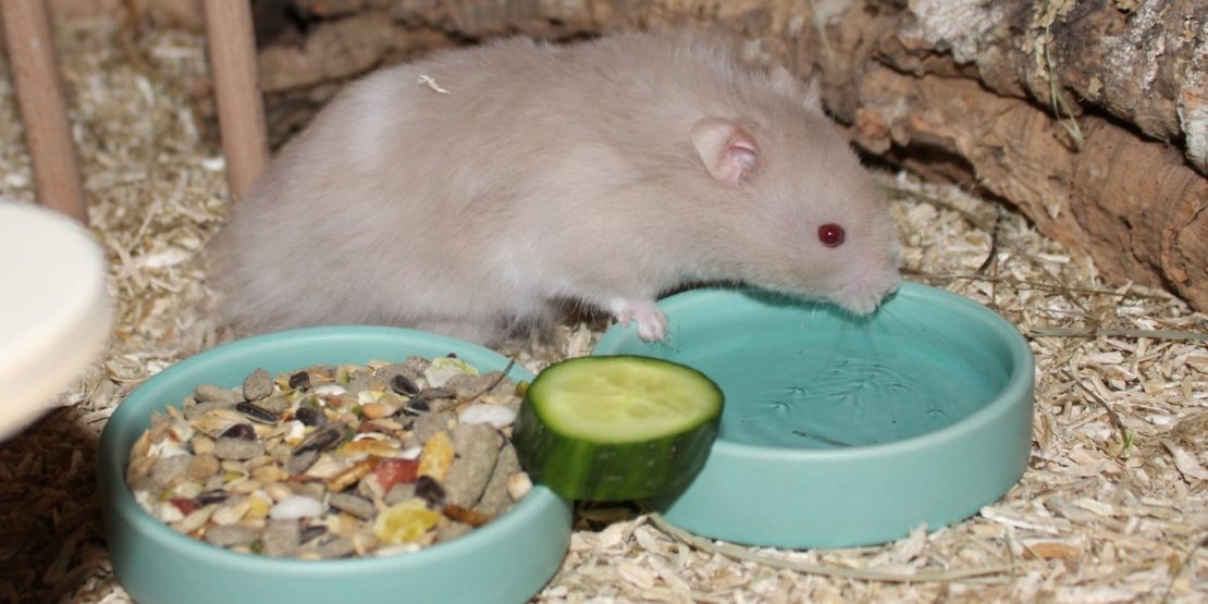 Teddyhamster Futter und Ernährung