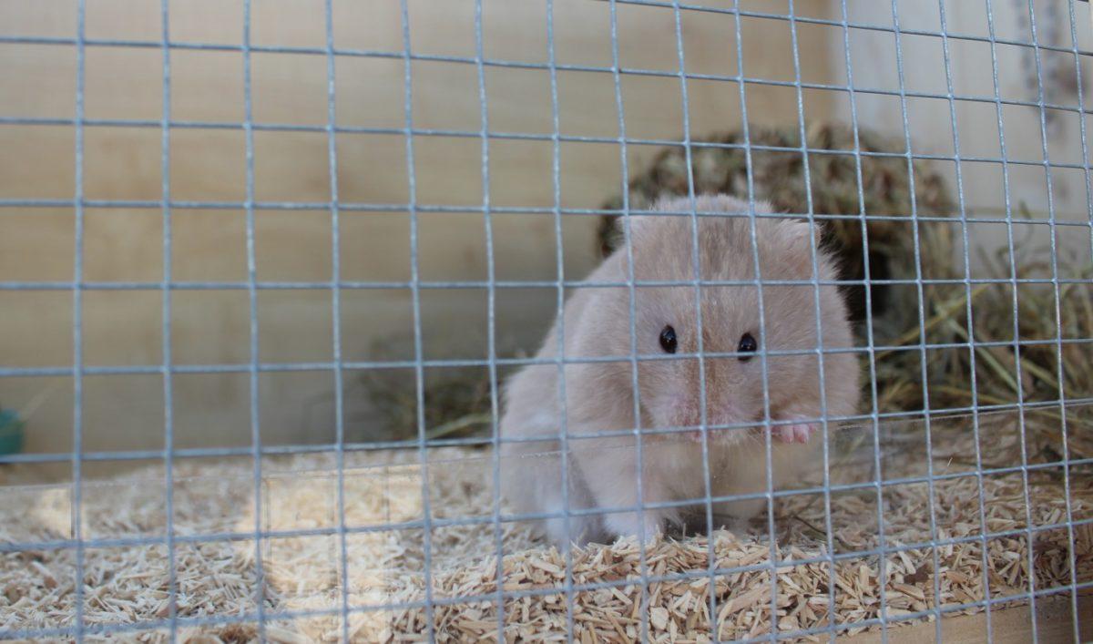 Hamster nagt am Gitter