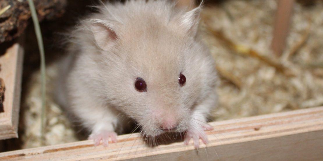 Augenentzündung beim Hamster
