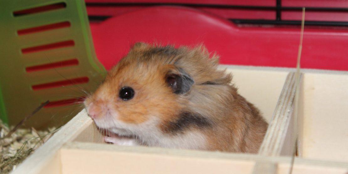 Pilz beim Hamster
