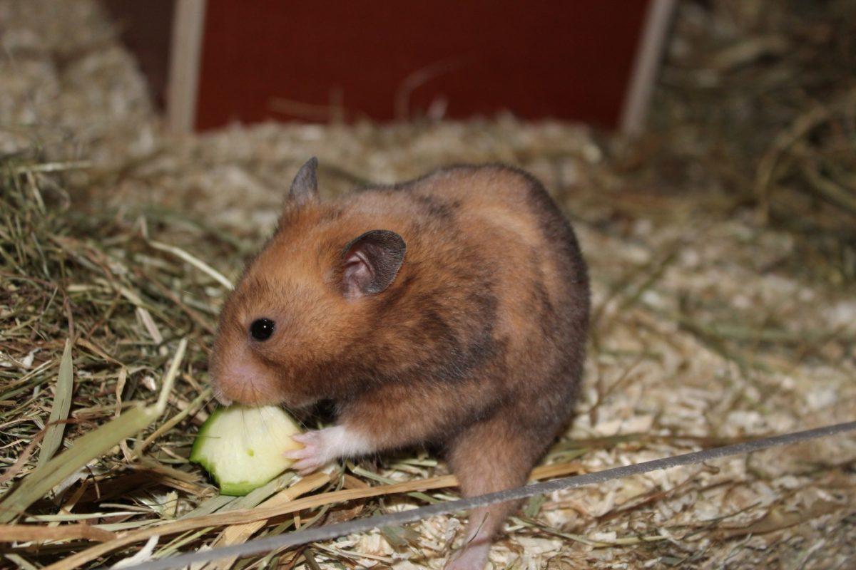 Heu als Hamsterfutter