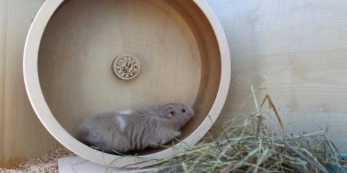 Sind Hamster laut? - Wir beantworten die Frage